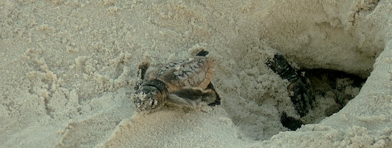 baby sea turtle hatchlings in the beach sand