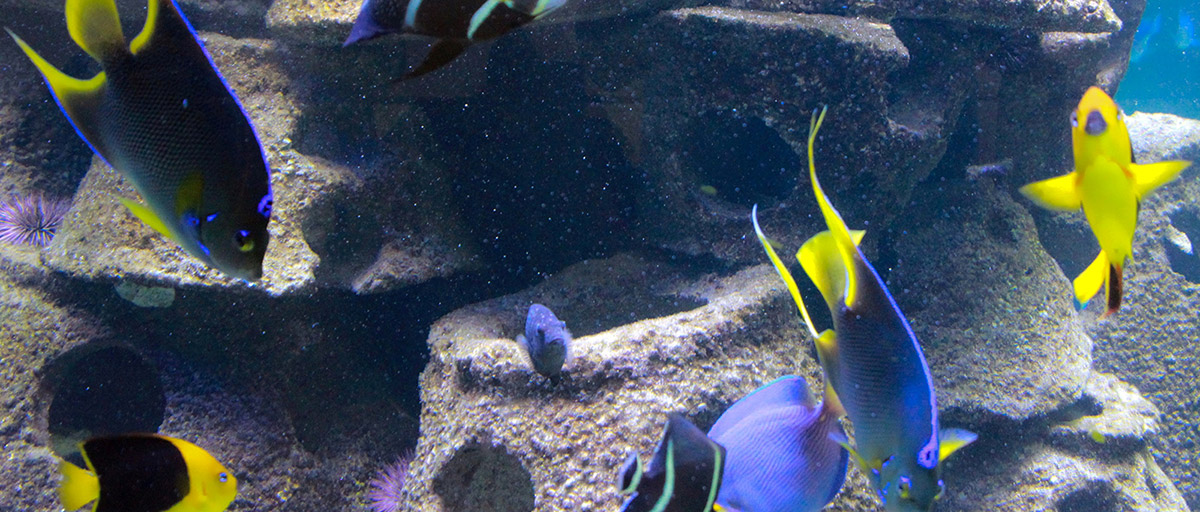 bright blue and yellow tropical fish swimming in an artificial reef