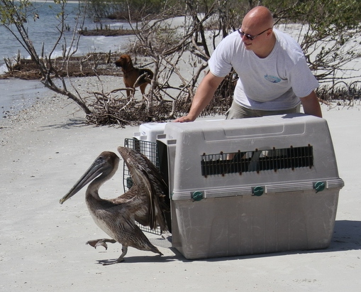 pelican released on the beach of ponce inlet