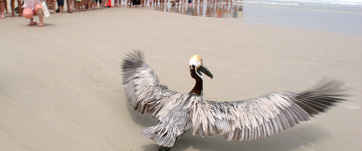 rehabilitated pelican taking off for flight from the beach by the ocean